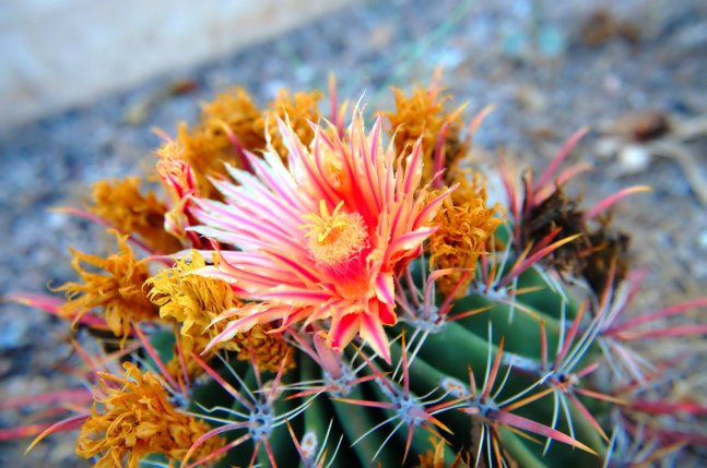 Cactus blooming with a pink flower